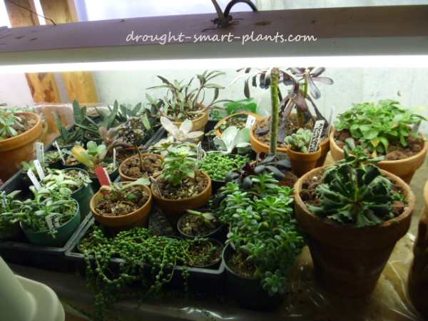 Happy Succulents under grow lights
