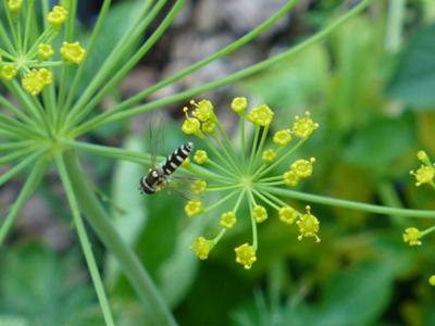 Syrphid Fly on the umbelliferous flowers of Dill