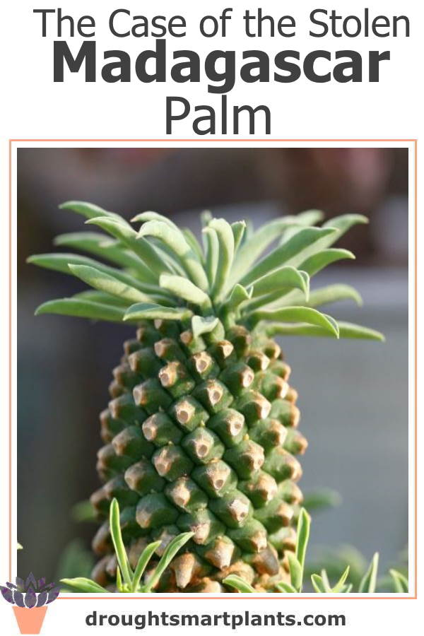 The Case of the Stolen Madagascar Palm