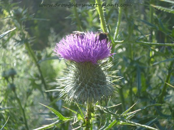 A few thistles, a bit of nectar = lots of bees...