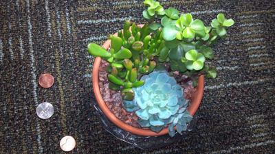 All of the succulents together w/ size comparison