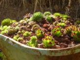 Succulents in a Wheelbarrow