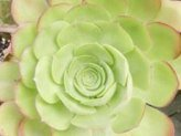 Aeonium