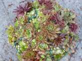 Plant up a Sempervivum Globe for some impact...