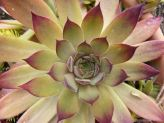 How to Grow Sempervivum