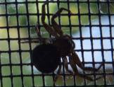 Spider Identification
