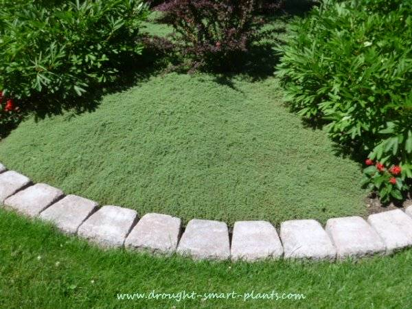 Thyme Lawn Low Maintenance Tough, How To Replace Grass With Ground Cover