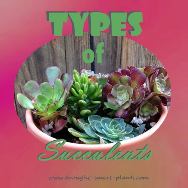 Scalloped, chubby, speckled or blushed, there are many Types of Succulents...