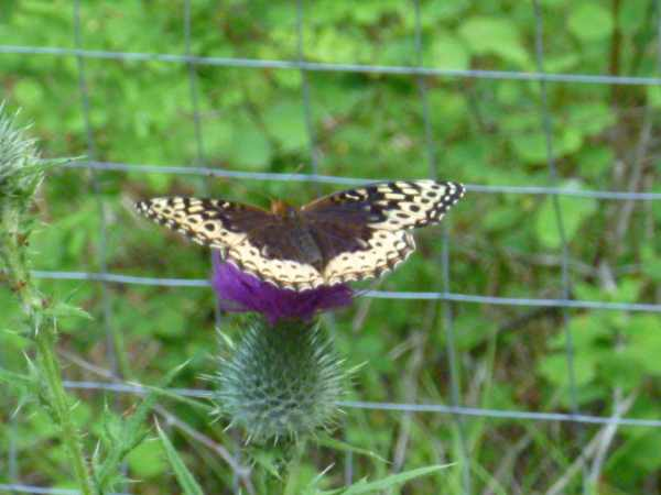 newly identified as a female Speyeria cybele, the Great Spangled Fritillary