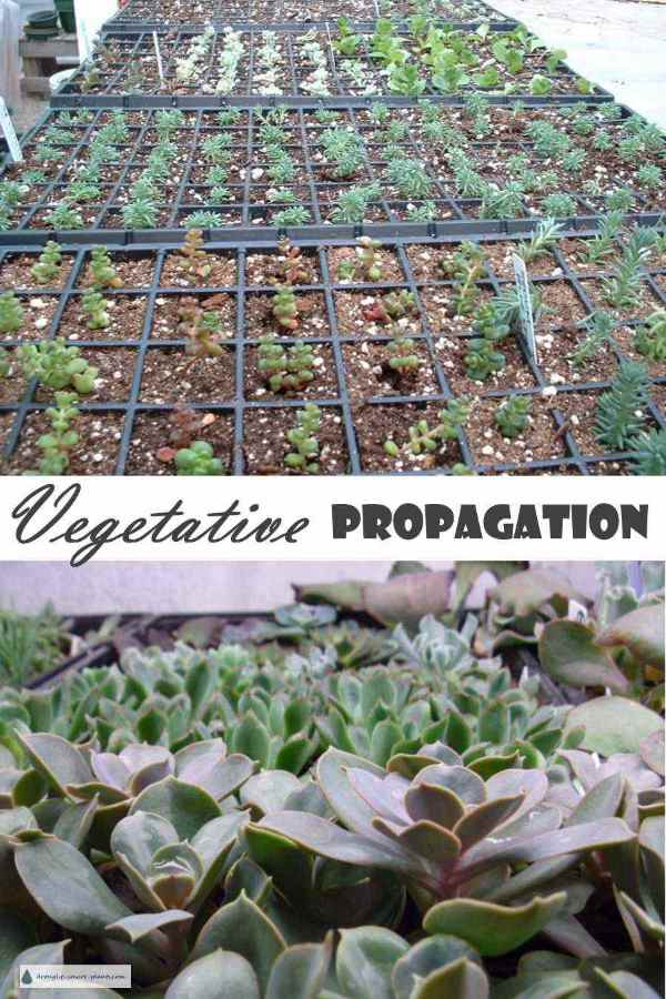 Vegetative Propagation - making more plants from cuttings