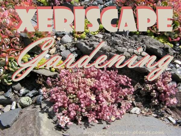 Xeriscaping with hardy succulents and rocks