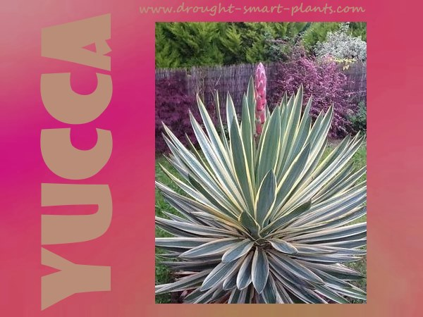 Yucca - spiky and textural